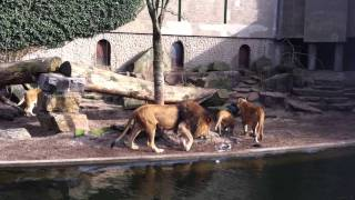 Pelican Visits Some Lions at the Zoo