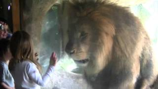 Lion Wants to Eat Little Girl