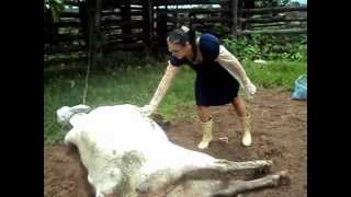 Sleeping Cow Wakes up and Kicks Woman in the Face