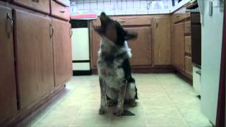 Really Smart Athletic Dog Doing Tricks