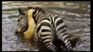 Zebra Drowns Lioness to Save Own Life