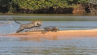 Jaguar Attacks Crocodile