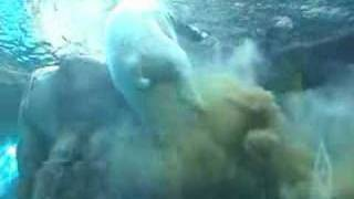 Great View of a Polar Bear Pooping Underwater