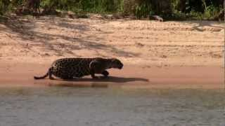 Jaguar Hunts and Kills a Capybara