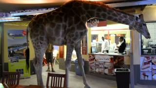 Giraffe Crossing in a Restaurant